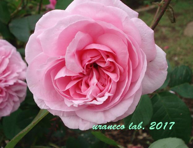 7月7日薔薇