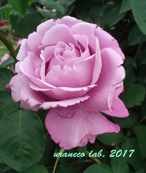 7月7日薔薇3
