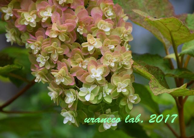 7月20日柏葉紫陽花