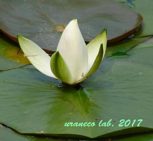 7月27日waterlily