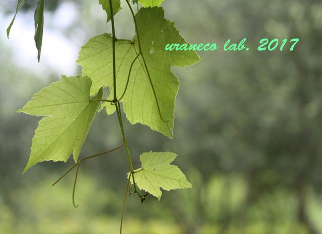 8月2日葡萄の葉