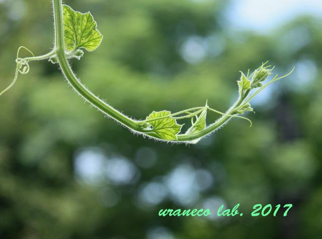 8月2日葡萄の蔓
