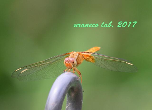8月2日蜻蛉2