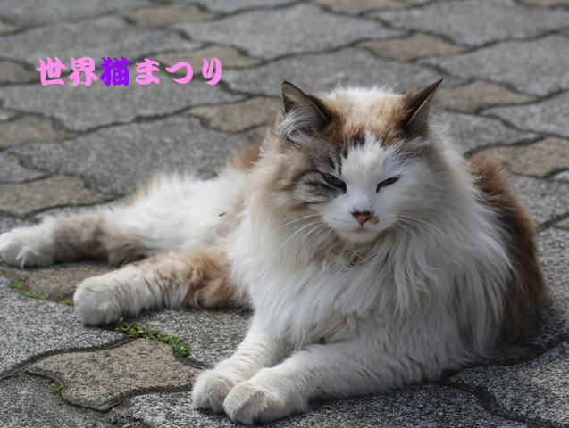 8月8日長毛洋猫