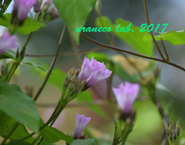 8月9日紫色のちび朝顔