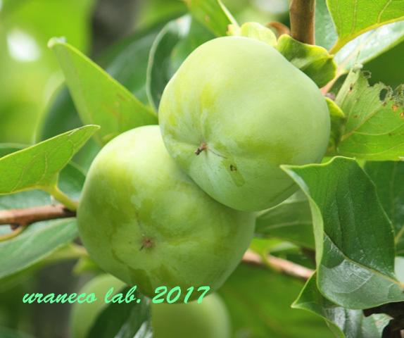 8月2日柿