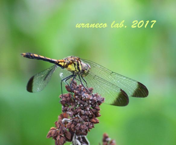 8月22日蜻蛉