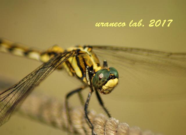 9月1日蜻蛉アップ2