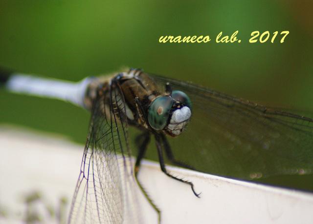 9月1日蜻蛉アップ