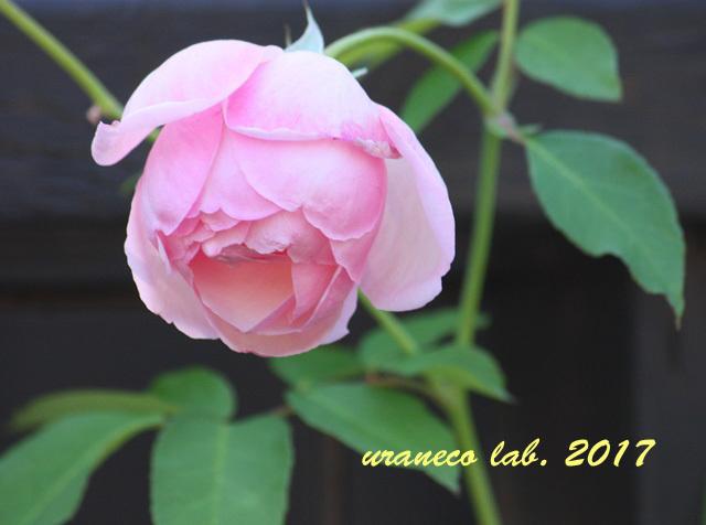 9月1日薔薇5