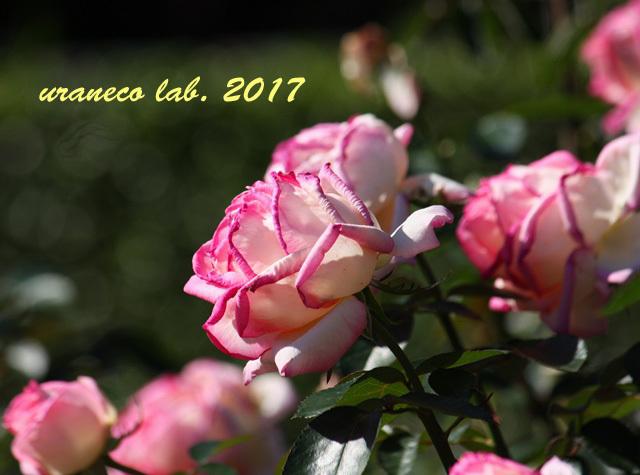 9月1日薔薇4