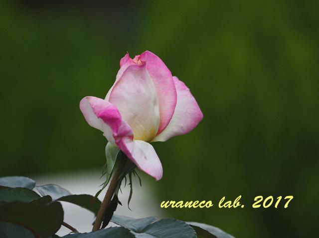 9月1日薔薇3