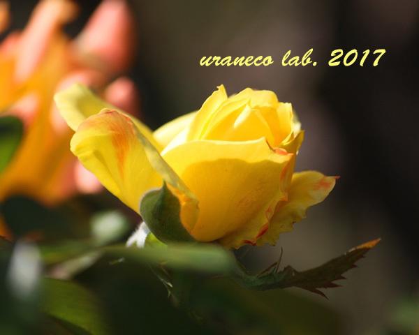 9月1日薔薇2
