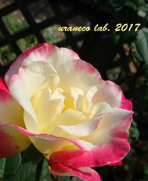 9月1日薔薇