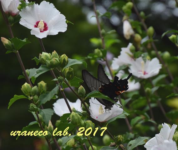 9月4日ムクゲと黒蝶