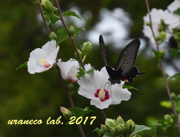 9月4日ムクゲと黒蝶2