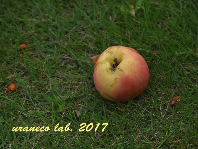 9月4日落ちたリンゴ