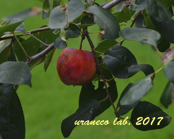 9月4日加賀藩在来和りんご