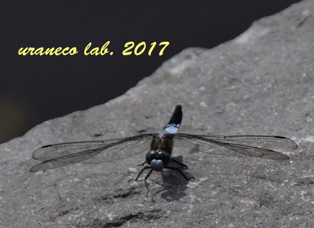 9月4日蜻蛉