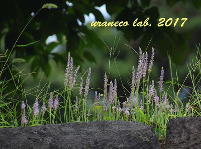 9月4日石垣の上の紫