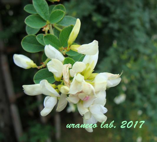 9月14日白いハギの花