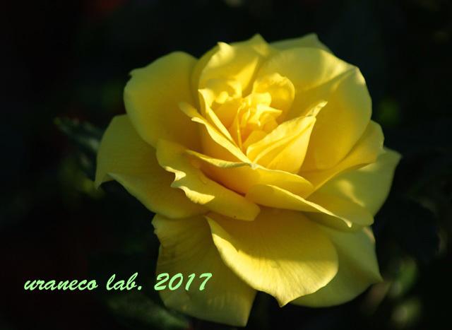 9月14日黄色い薔薇