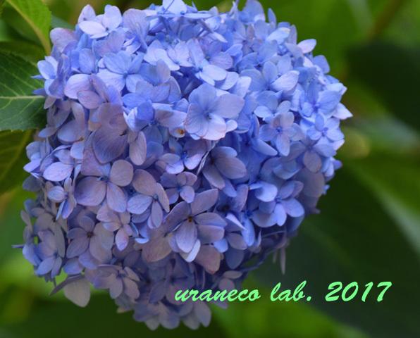 9月20日季節外れの紫陽花