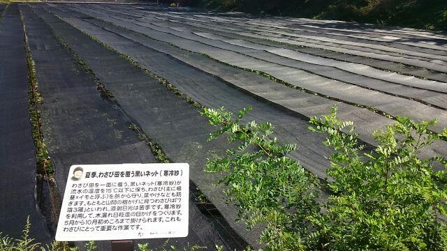 夏季、わさび田を覆う黒いネット
