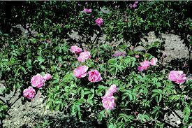 ヒプノセラピー スピリチュアルライフ 五月のバラ