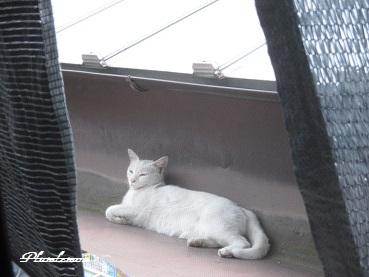 白猫昼寝1707
