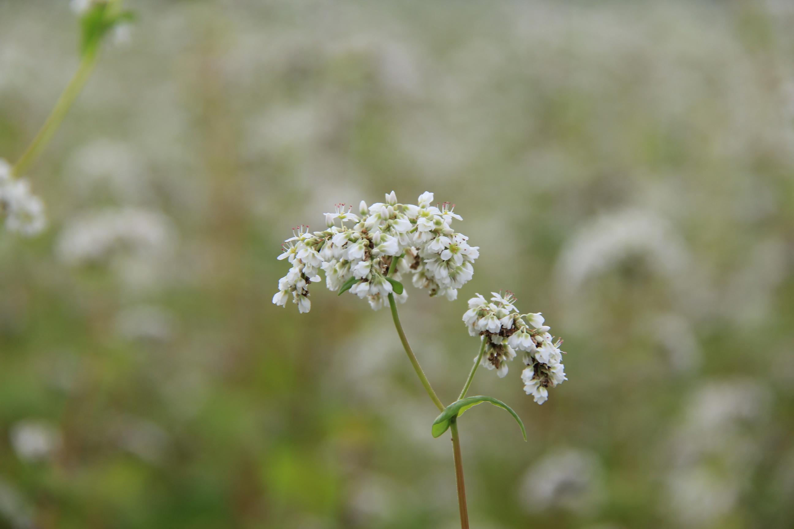 蕎麦の花01