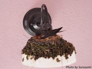 ツバメ巣作り
