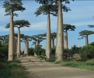 マダガスカルの大木バオバブ