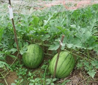 無農薬菜園のスイカ8月