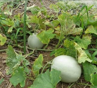 無農薬菜園のメロン7月