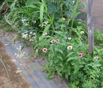 菜園の雑草と花9月