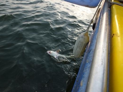 ③サメ釣れた (3)
