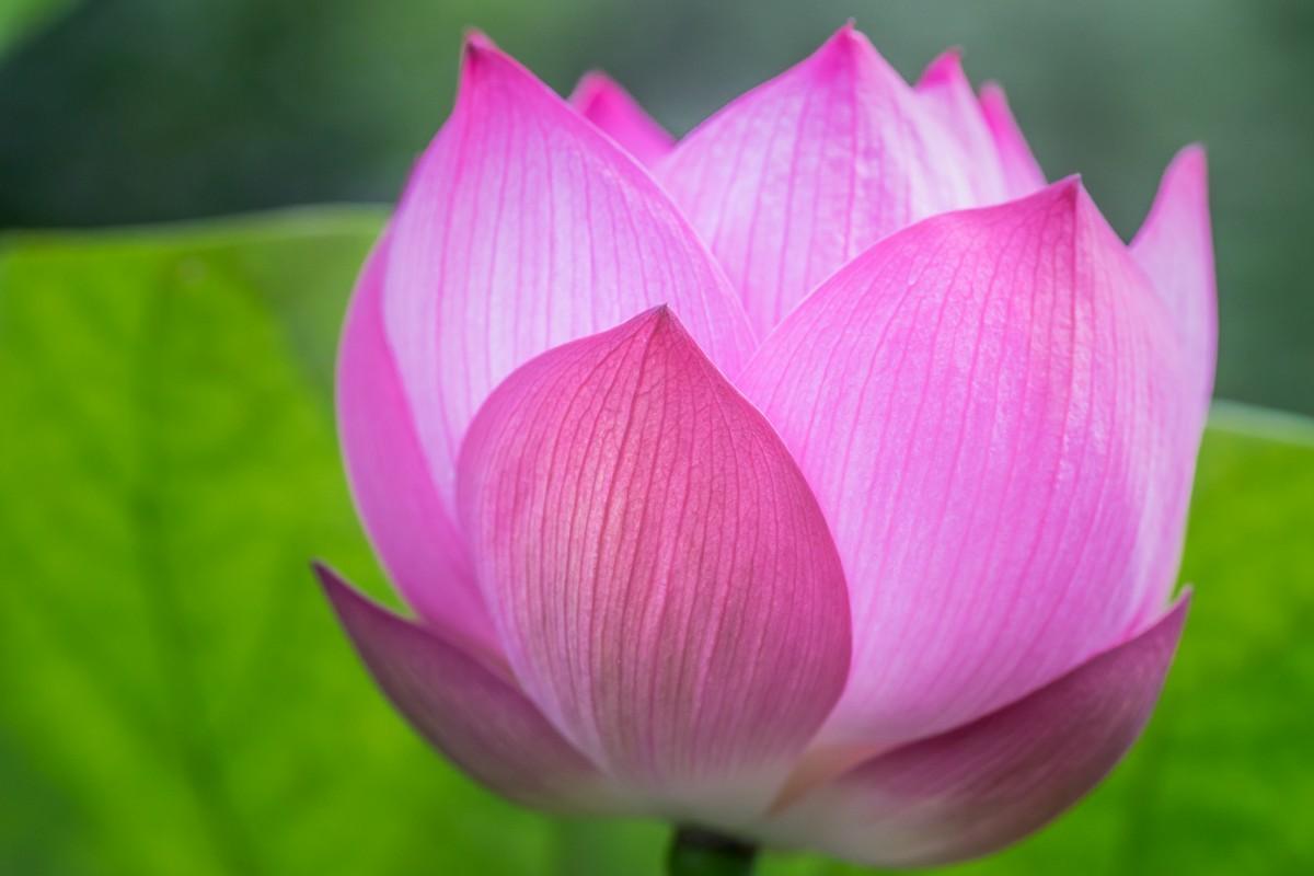 170919蓮の花