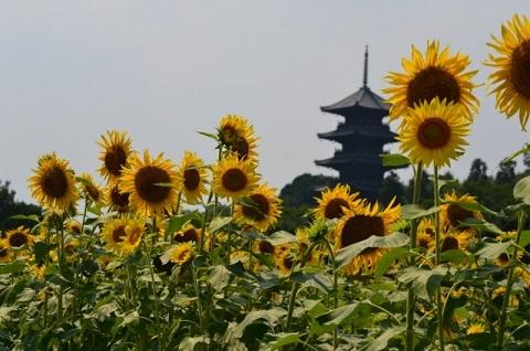 DSC_1180向日葵