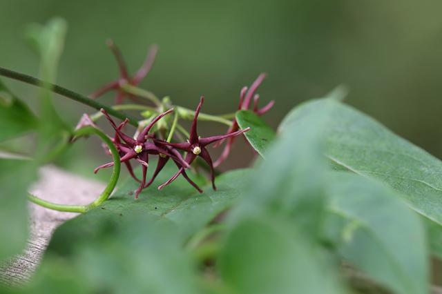 コバノカモメヅル(小葉の鴎蔓)