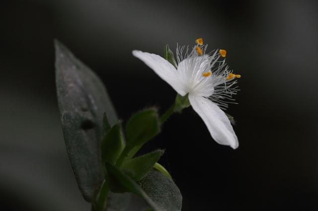 ミドリハカタカラクサ(緑博多唐草)