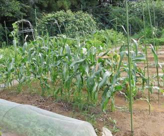 トウモロコシ菜園1
