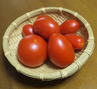 シシリアンルージュなどトマト収穫物