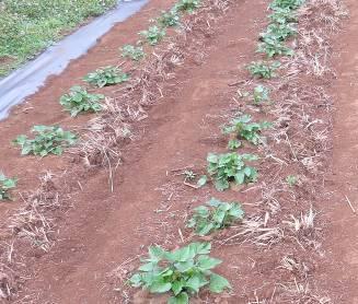 オート刈り跡根株とサツマイモ