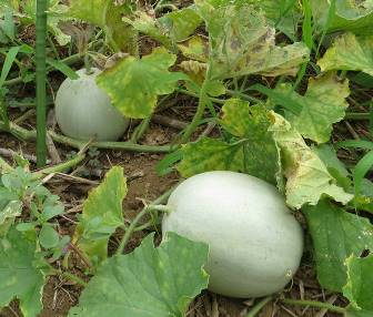 メロン菜園果実
