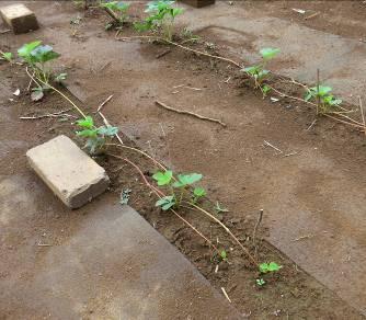 イチゴ苗増殖7月(除草シートの間)