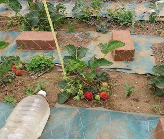 放置イチゴ栽培ウイルス株
