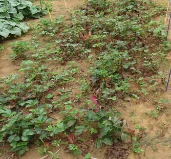 放置イチゴ栽培夏
