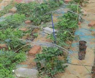 放置イチゴ栽培収穫後6月