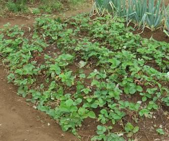 放置イチゴ栽培秋の間引き後